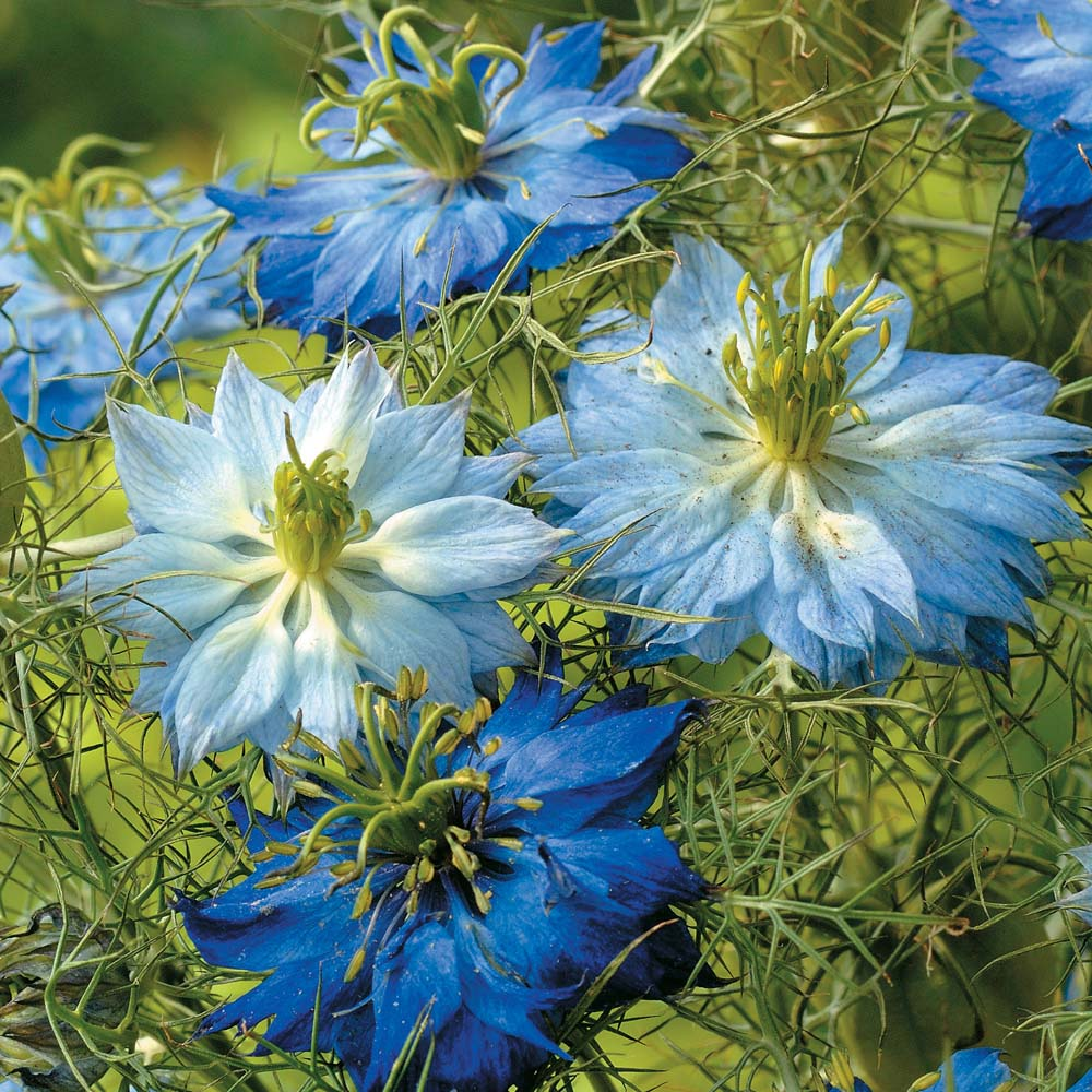 nigella damascena seeds