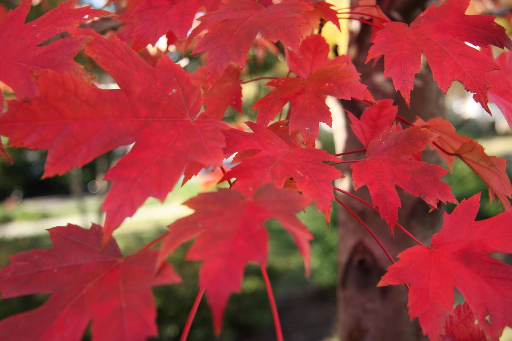 How To Grow Red Maple Tree How Ornament My Eden