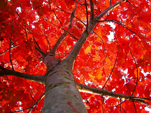 red maple tree seeds