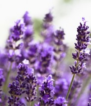artificial lavender silk flowers