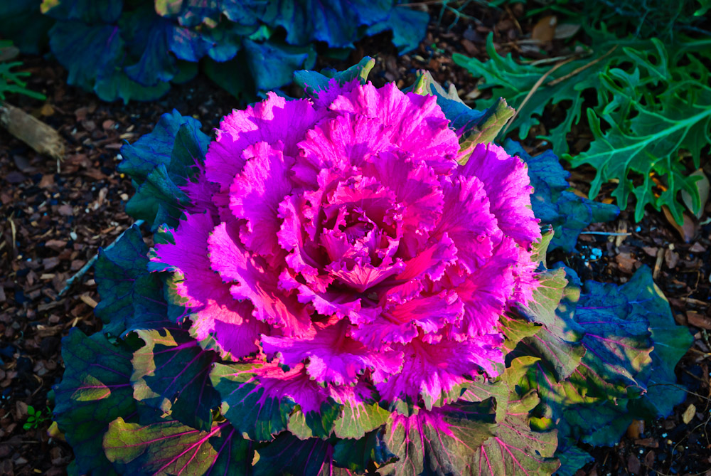Itu0027s A Natural For Fall Container Gardens. The Jewel Toned Flowers Come In  Nearly Every Color ...