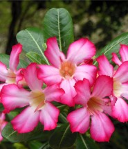 Desert Rose Flower Seeds