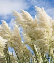 Purple Pampas grass