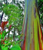 How to plant rainbow eucalyptus seeds